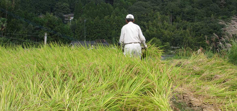 20141005稲刈り2