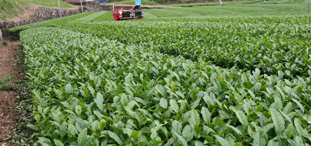 稲刈りとお茶の秋整枝