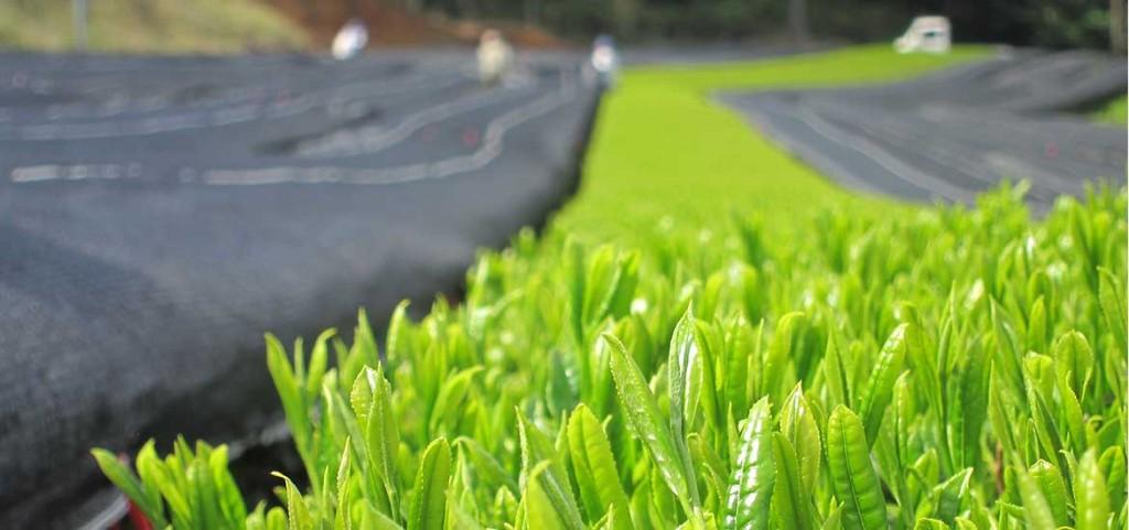 茶摘み前の被覆作業