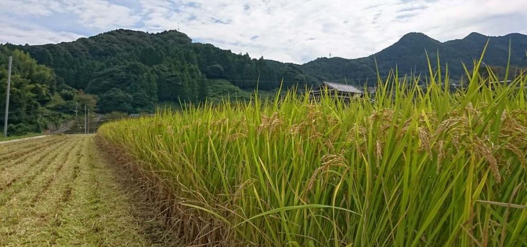 棚田の稲刈りが始まりました。