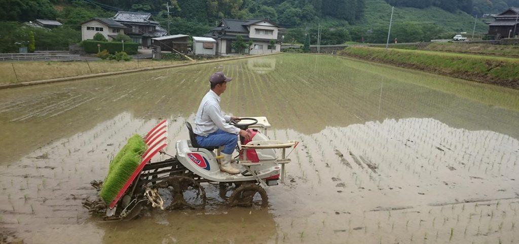 田植え始まってます。
