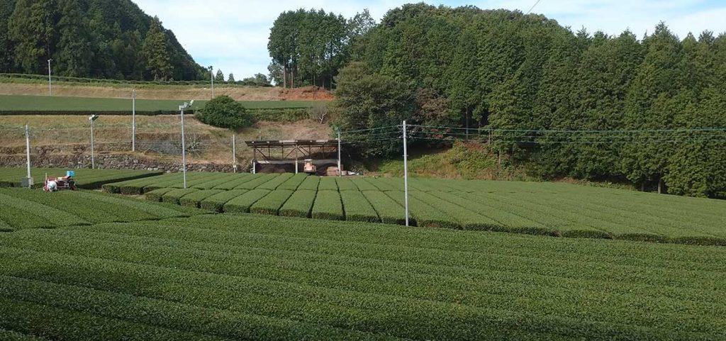 お茶畑、秋の整枝作業を始めました。