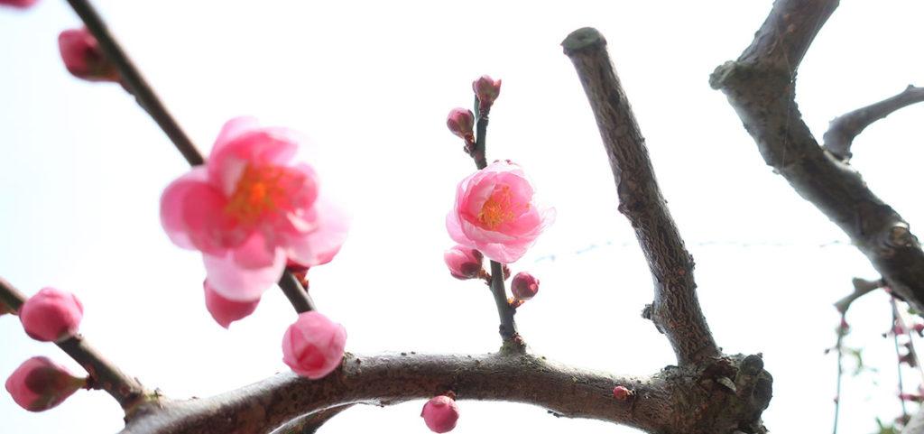 お茶の芽もびっくり 令和初の冬は記録的な暖冬