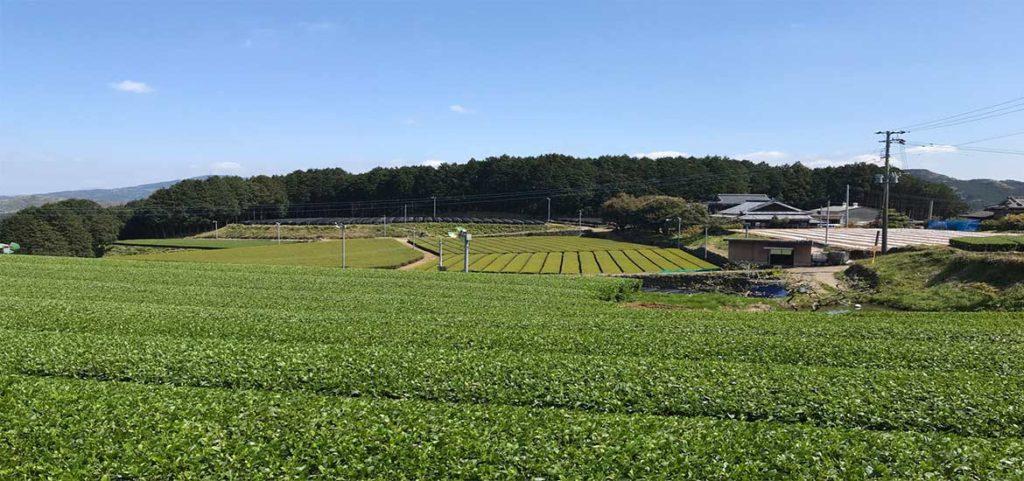 新茶の茶摘みが始まりました。