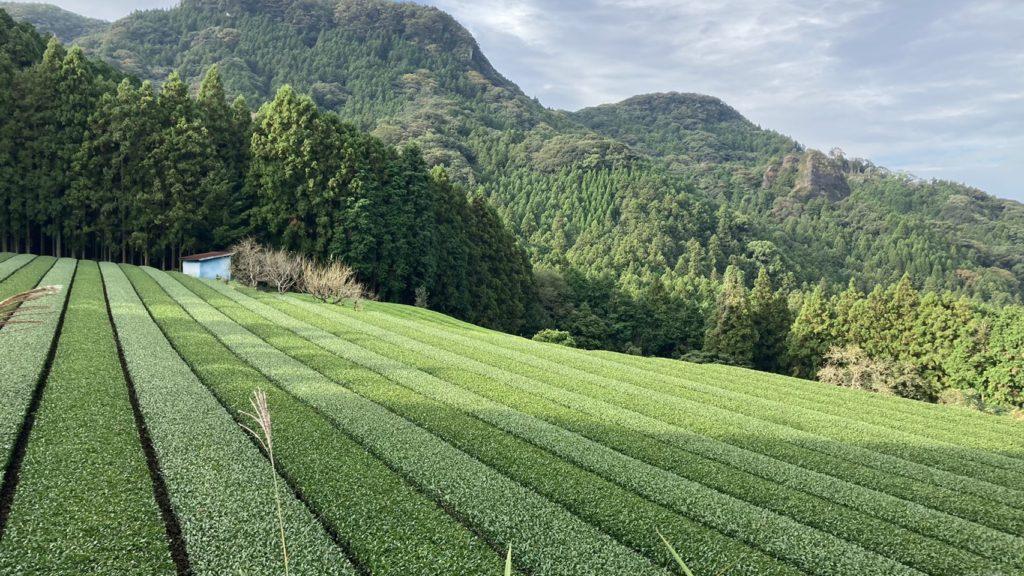 2020茶園の秋の整枝