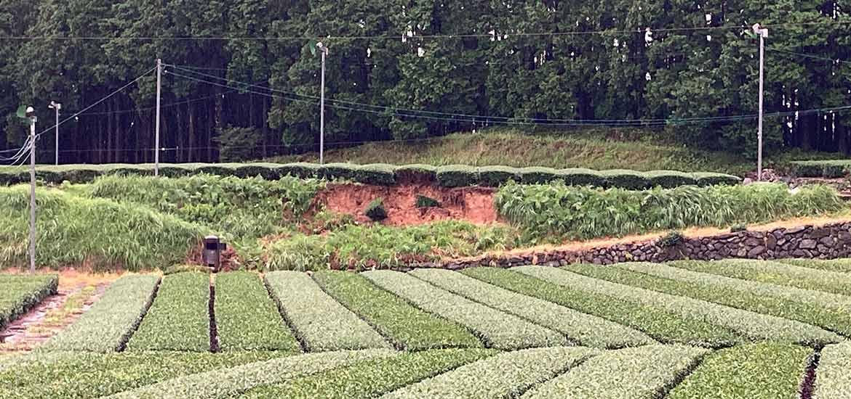 茶畑の土手の土砂崩れ
