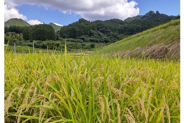 令和3年の新米の稲刈りはもうすぐです。
